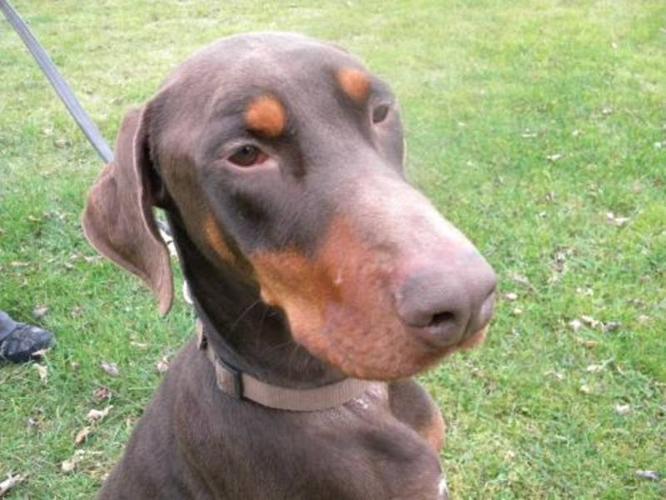 Adult Male Dog - Doberman Pinscher: