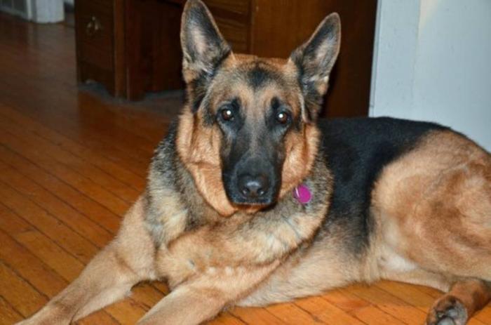 Adult Male Dog - German Shepherd Dog: