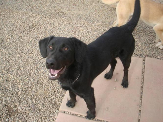 Adult Male Dog - Labrador Retriever: