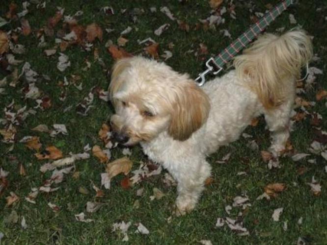 Adult Male Dog - Lhasa Apso Poodle: