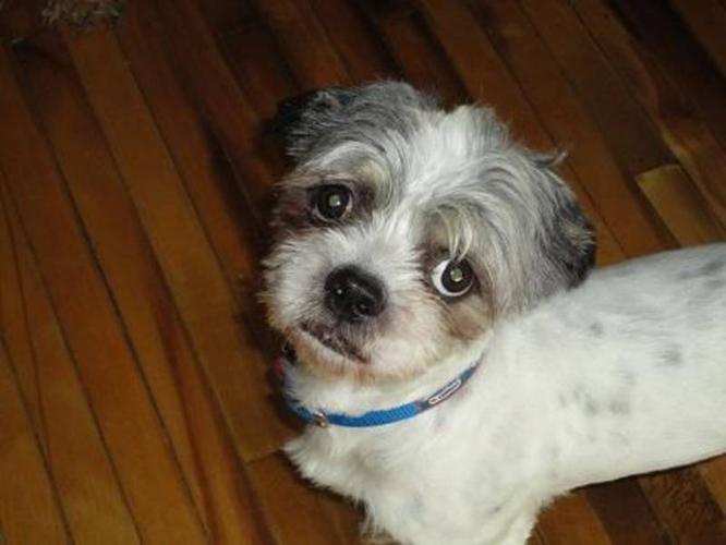 Adult Male Dog - Lhasa Apso Shiba Inu: