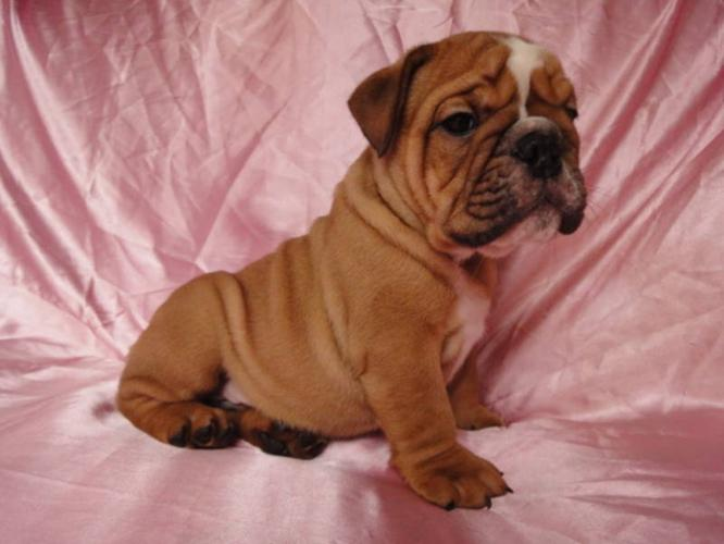 AMAZING PUREBRED ENGLISH BULLDOG PUPPIES READY TO GO NOW!