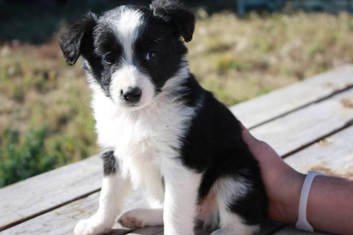 Australian Shepherd Border Collie Blue Heeler Puppies For Sale In