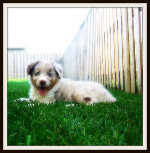 Australian Shepherd puppies for sale in London, Ontario - Nice Pets