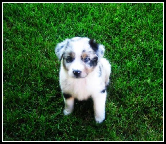 Australian Shepherd Pups For