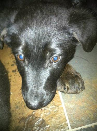 AWESOME LAB X BORDER COLLIE PUPPIES - AND BOXER X PUPPIES -