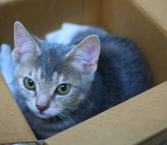 Baby Female Cat - Domestic Short Hair: