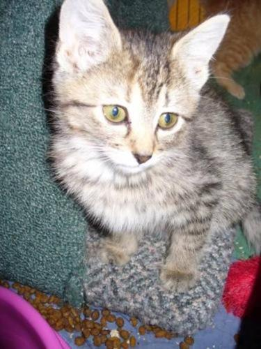 Baby Female Cat - Tabby - Grey: