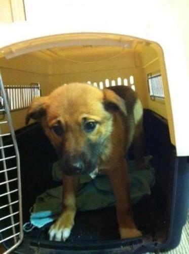 Baby Female Dog - Shepherd Husky: