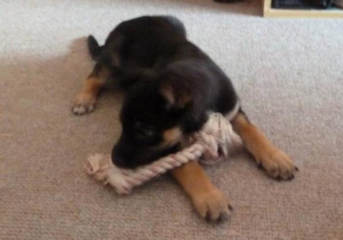 Baby Female Dog - Shepherd: