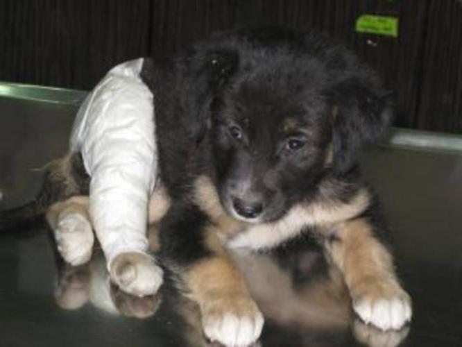Baby Female Dog - Whippet Retriever: