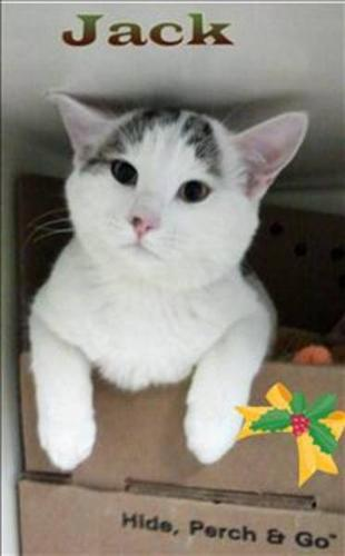 Baby Male Cat - Domestic Short Hair:
