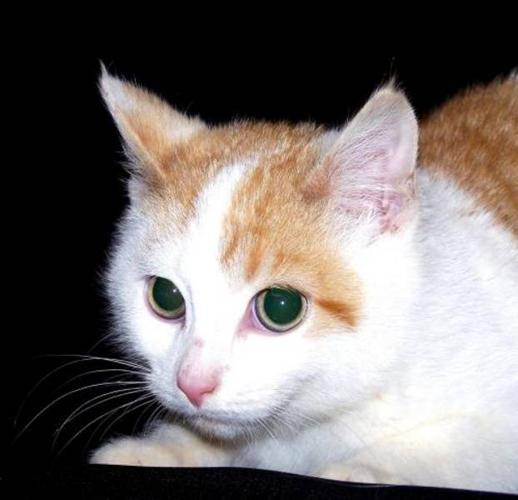 Baby Male Cat - Domestic Short Hair - orange and white: