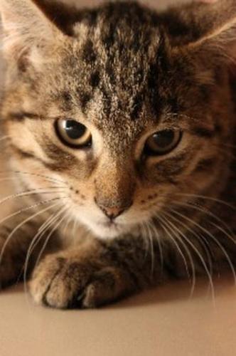 Baby Male Cat - Tabby:
