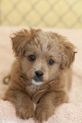 Baby Male Dog - Shih Tzu: