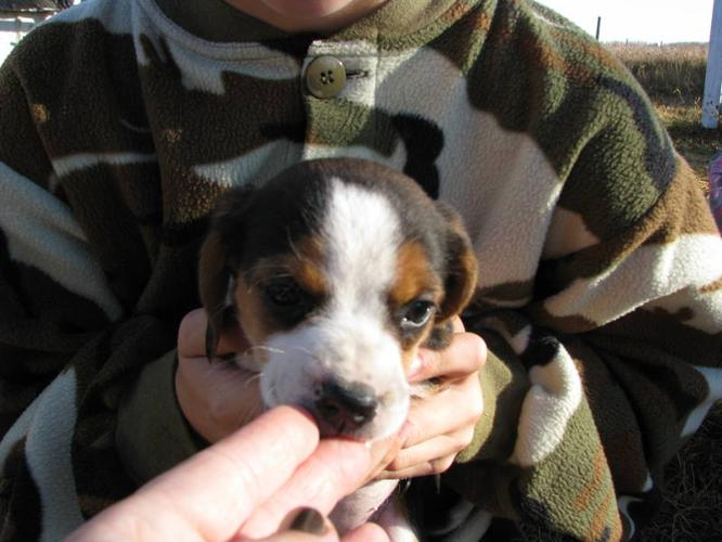 BEAGLE Puppies, ready to go home today! NEW PRICE