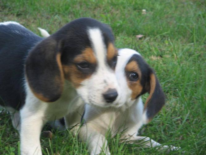 Beagle puppys for sale
