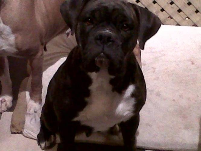 Beautiful 2 year old Boxer X female