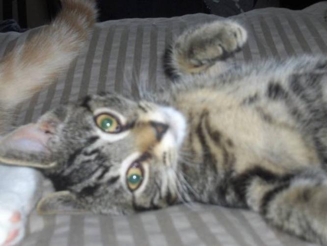 Beautiful 3 year Old Male Cat Neutered