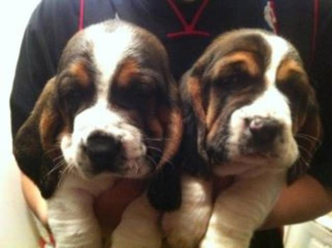 Beautiful Basset Hound Puppies ONLY TWO LEFT!