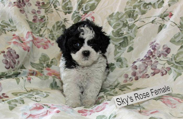 Beautiful Bichon Shih Tzu Puppies