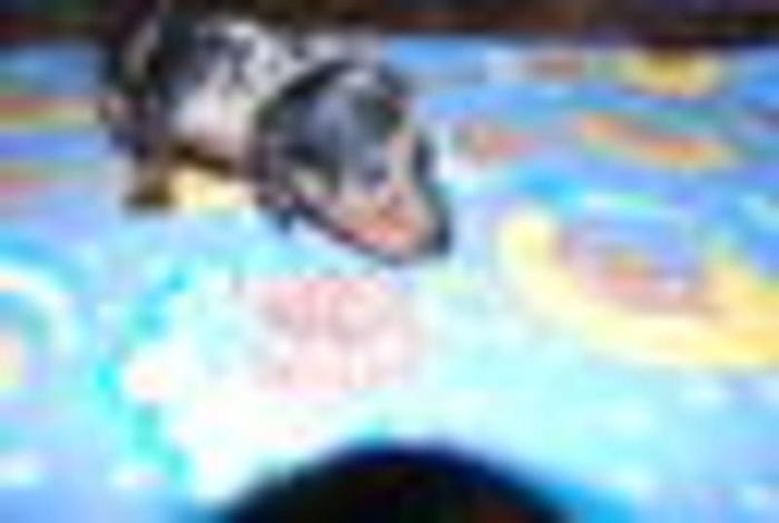 Beautiful Dapple Mini Dachshund pups