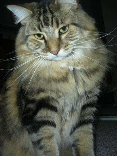 Beautiful DLH Tabby-male/fixed/tattooed *free* to a GOOD HOME!