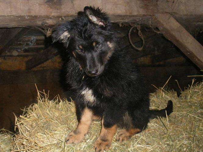 Beautiful German Shepherd Collie Pups
