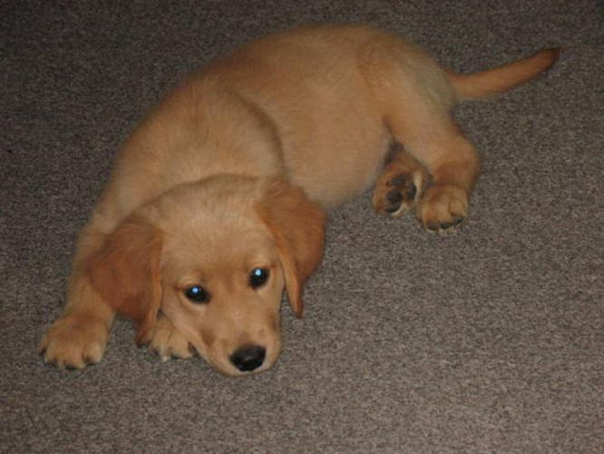 Beautiful Golden Retriever Puppies For Sale For Sale In