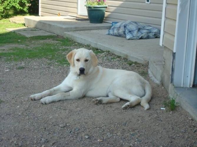 Beautiful Lab/Retriever Cross