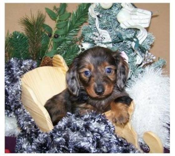 Beautiful Mini Dachshund Pups!