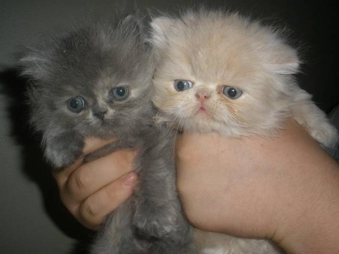 Cats For Sale Maple Ridge