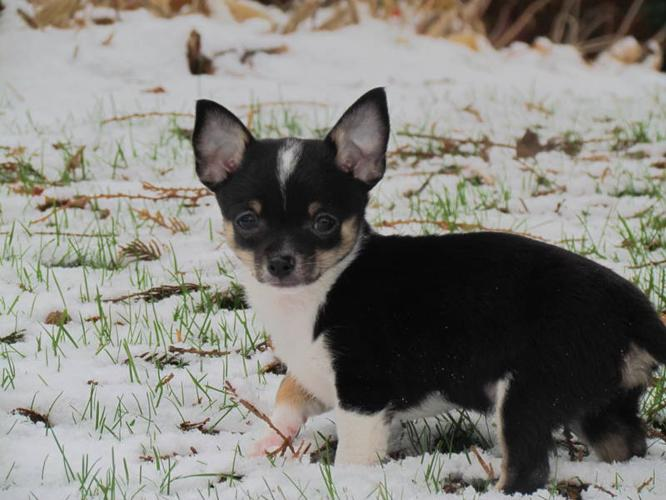 Beautiful Pomchi Pup! SOLD