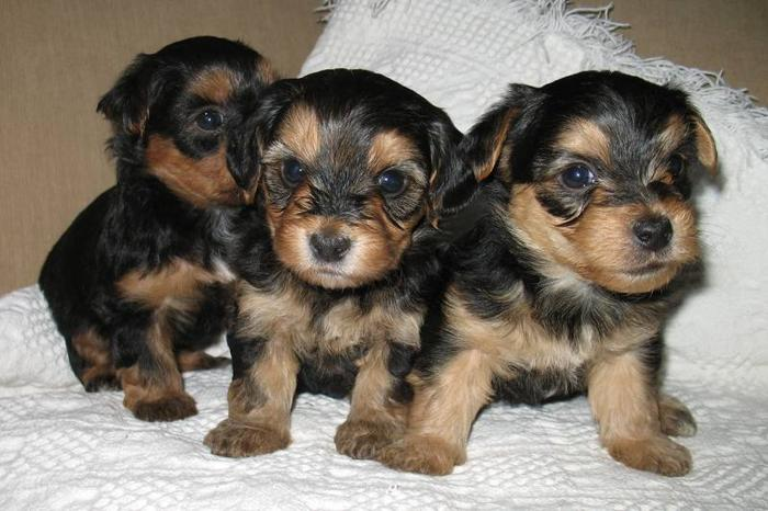 beautiful purebread Australian Silky Yorkie/Maltese X puppies