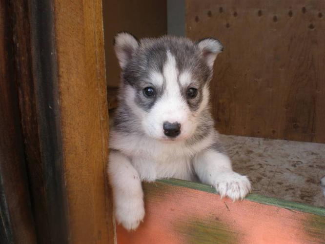 Beautiful Purebred Siberian Husky puppies available