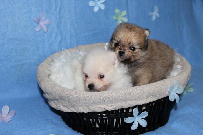 Beautiful small Pomeranian Puppies! Must see babies!