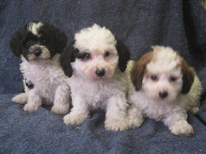 Bi-Poo (Bichon Frise-Mini Poodle) Puppies for sale in