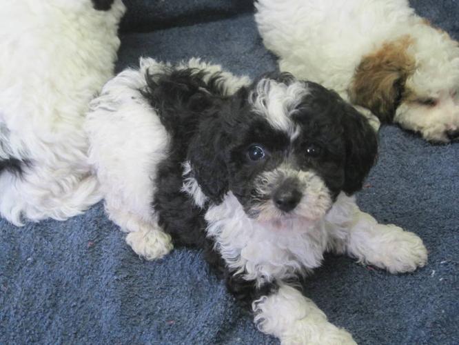 Bi-Poo Puppies (Bichon Frise-Mini Poodle)