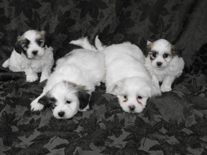 Bichon Frise X Shih Tzu Puppies For Sale In Carstairs Alberta