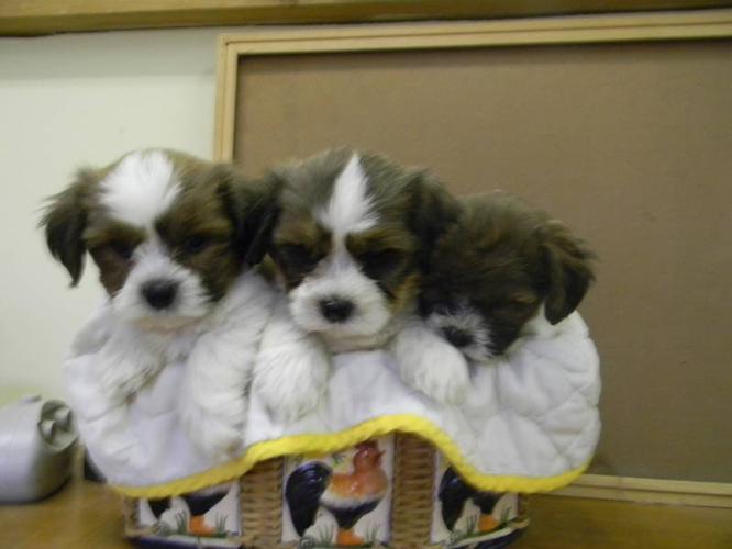 Bichon Frise X Shih Tzu Pups Shichon For Sale In Feversham