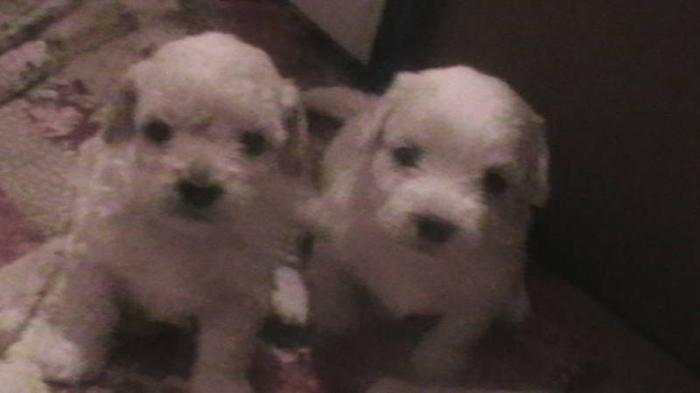 Bichon/Shih-tzu puppies for sale