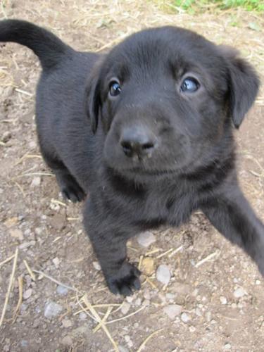 Golden Retriever Dog For Sale Timmins
