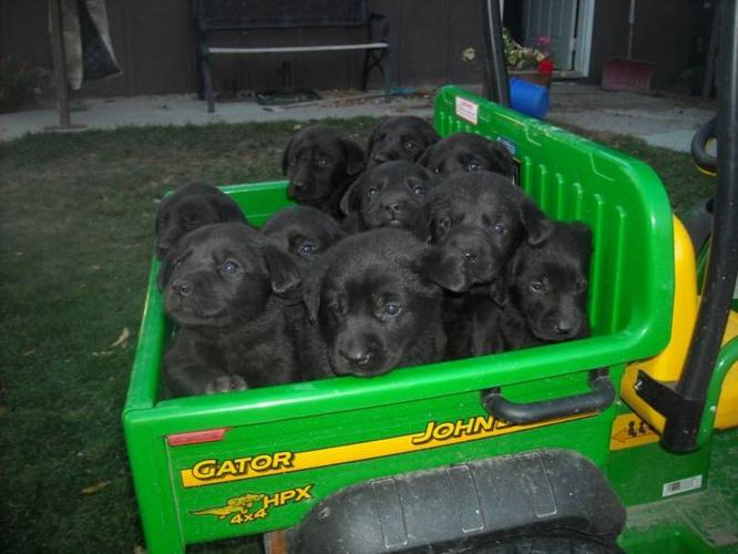 Black Lab Puppies Get one before the new year
