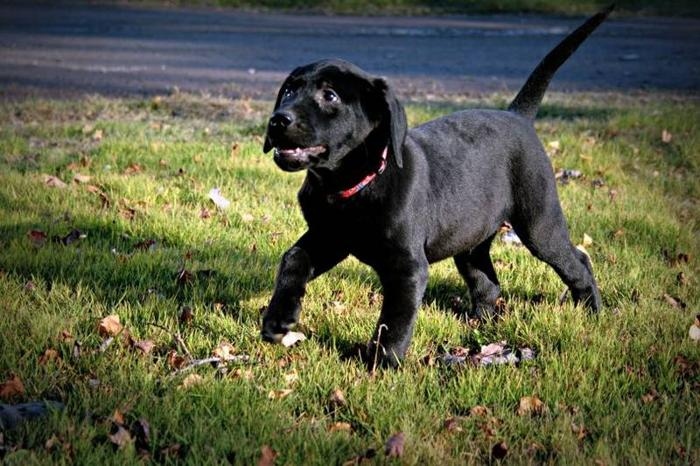 Black male Lab - SPCA # 0068
