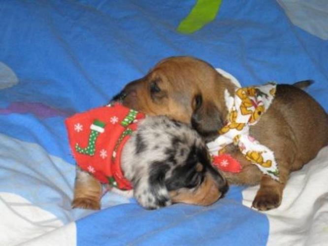 Blue Dapple male and Red Sable female Mini Dachund Pups