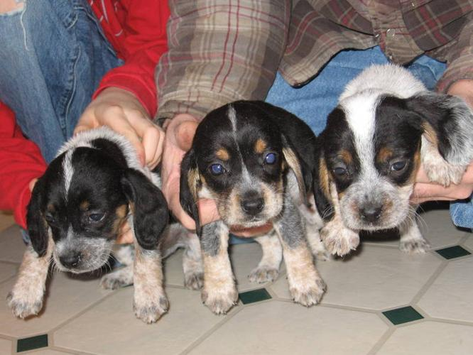 Bluetick Beagle Pups For Sale In Bridgetown Nova Scotia Nice Pets