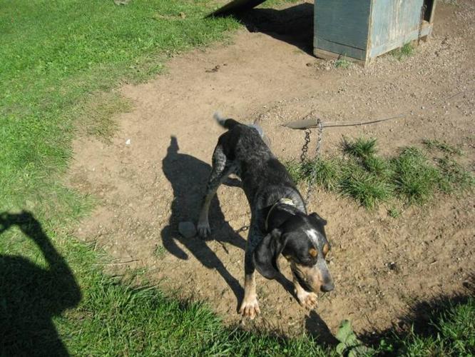 Bluetick coonhound female