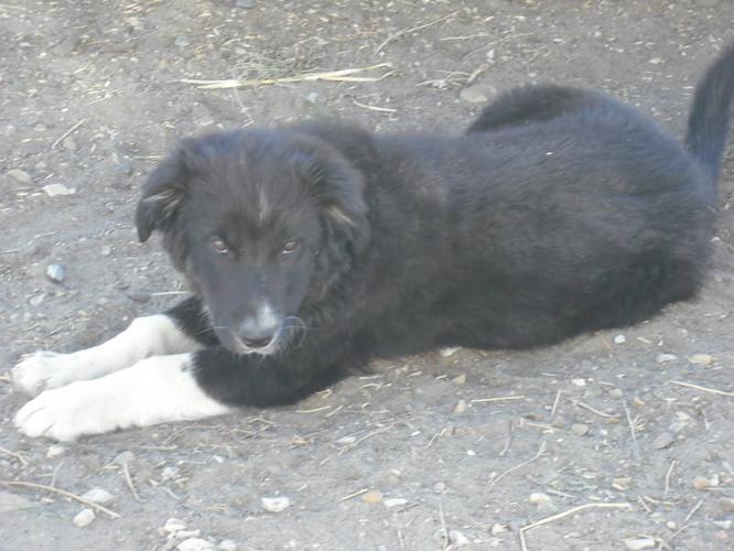 Border Collie And Australian Shepherd Cross For Sale In