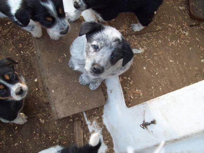 Border Collie Cross Blue Heeler Pups For Sale In Tweed
