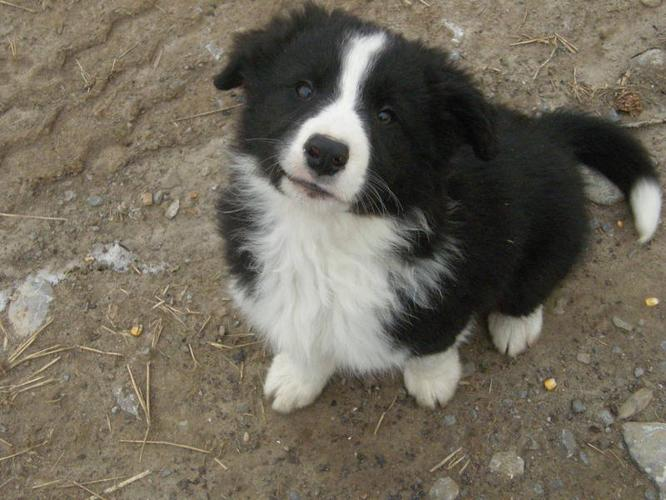 Border Collie Puppies For Sale In Hastings Ontario Nice Pets Online